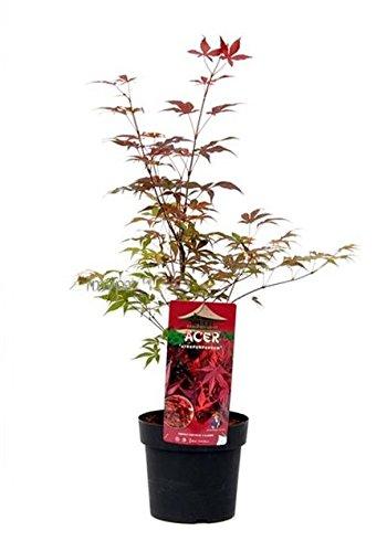 acer-palmatum-atropurpureum-violetter-asiatischer-facherahorn-verschiedene-grossen-60-80cm-3ltr