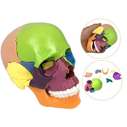 LUCKFY Farbiger menschlicher Schädel, 15 Teile menschlicher Schädel Anatomisches Modell Bemalte Knochen Praktisch zum Unterscheiden von Lernwerkzeugen -