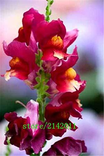 pinkdose 100 pc/sacchetto semi snapdragon, (anthirrhinum majus), semi di fiori bonsai bocca di leone, la crescita naturale per piantare giardino di casa: 7