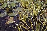 Mühlan - 7 Krebsscheren als Schwimmpflanzen für den Gartenteich/Teich, weiß blühend und winterharte Pflanzen