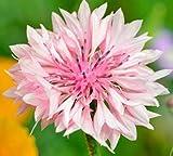 Pinkdose 100PCS / BAG Piante di fiordaliso, bellissimo zaffiro, fiore nazionale della Germania, pianta di bonsai per giardino domestico e davanzale: 8