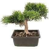 Cedro bonsai artificiale in vasetto, 20 cm - Bonsai in vaso / Cedro in vaso - artplants