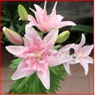 Galleria fotografica Lily lampadine vero impianto di bulbi di giglio semi di fiori a casa giardino di piante bonsai originali professionali 2 alberi