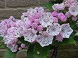 Homely Kalmia Latifolia Samen 200 Stücke Berg Lorbeer Seltene Blumen Samen Hausgarten Bonsai Pflanze Diy Einfach Zu Pflanzen