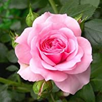 Vial-O-Seeds ™ Live English Light Pink Rose Flower Plant With Pot For Balcony, Terrace , Outdoor Gardening With Mystery…
