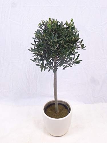 "[Palmenlager] Olivenbaum\""Olea europea\"" Kugel-Hochstamm 100 cm"