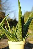 Sweet Aloe vera Essbare Aloe Vera barbadensis Miller Frische Baumschul Qualität Gartenkräuter