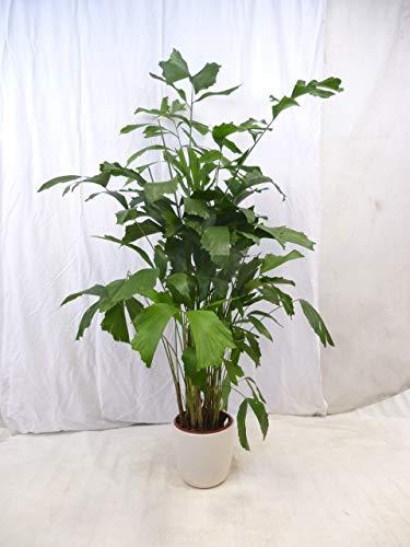 [Palmenlager] Caryota mitis - Fischschwanzpalme - 180 cm // seltene und sehr dekorative Zimmerpflanze