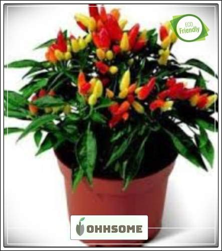 Pinkdose Zier Seeds: Capsicum Zier Chilli Blumensamen für die ganze Saison Garten Pflanzensamen Seed