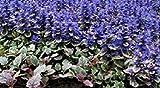Vista 30+ Ajuga Reptans Blumensamen/Deer resistent/Schatten liebevoll/Bodendecker mehrjährig