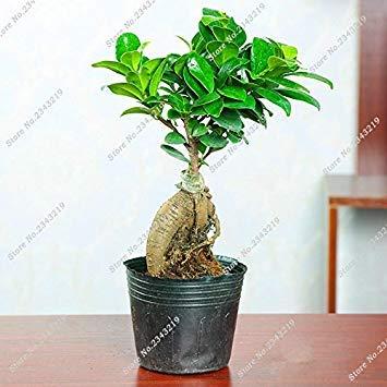 Ficus verschiedene Größen
