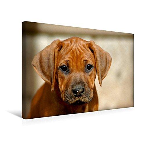 Premium Textil-Leinwand 45 cm x 30 cm quer, Ein Motiv aus dem Kalender Kleine Löwenhunde | Wandbild, Bild auf Keilrahmen, Fertigbild auf echter Leinwand, Leinwanddruck (CALVENDO Tiere) (Welpen-kalender-kleine)