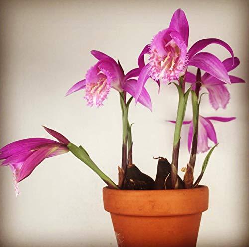 Portal Cool 12 Bulbillen - Pleione 'Tongariro' - Hardy Orchid, Garten Orchidee, Orchideen-Birne - Hardy Orchid