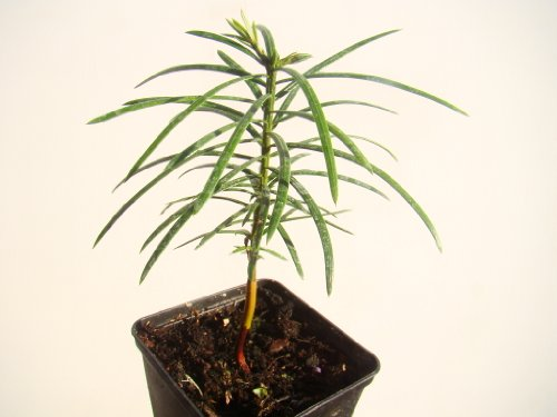 Galleria fotografica Cephalotaxus Fortunei cinese prugna Ebreo in vaso da 7cm–Fishbone–like fogliame, frutti commestibili,