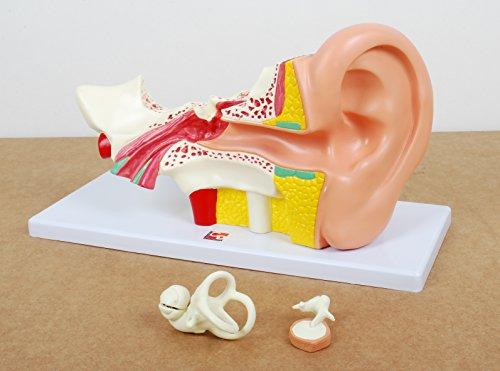 TickiT 03105Menschliches Ohr Modell in 4-facher Vergrößerung -