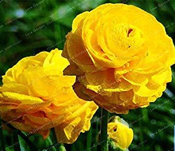 . 100 Stück Rare Yellow Ranunculus Asiaticus DIY Pflanzen einfach zu wachsen Blumen-Garten-Pflanzen-Hausgarten Symbolisiert Liebe: 3