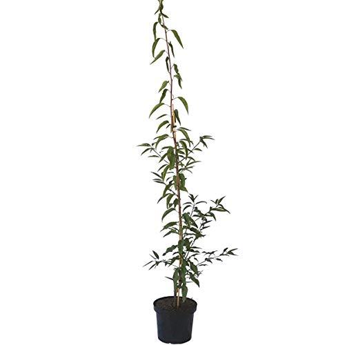 Müllers Grüner Garten Shop Mandelbaum Weiße Krachmandel selbstfruchtbare Süßmandel Buschbaum 150-170 cm Pflanze 7,5-10 L Topf