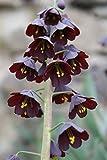 40 x Persiche Kaiserkrone Samen - Kaiserkrone Persica - Persische Glockenlilie