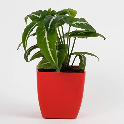 Ferns N Petals Lucky Air Purifying Syngonium Wedlendi Plant |Christmas Gift | Valentines Gift | Happy Year Gift