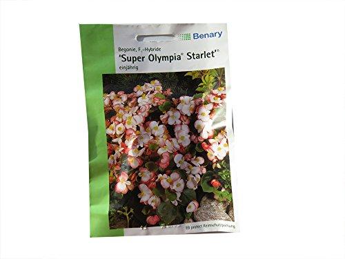 Begonie Super Olympia Starlet