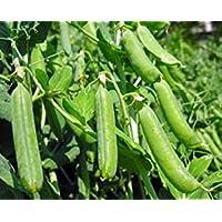 PlenTree Germen guisante, Thomas Laxton, la herencia, orgánicos, no gmo, más de 100 semillas, guisantes perfectos