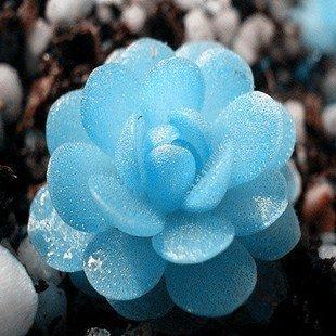 semences Bonsai plantes succulentes semences pour maison et jardin Pots de fleurs jardinières - 30 pcs / lot