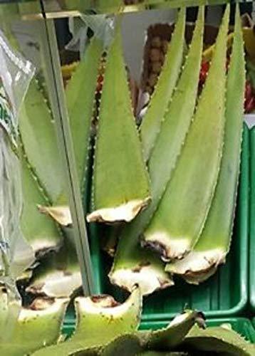 """Portal Cool Große Aloe Vera Aloe Barbadensis Frische Bio-Blatt Medicinal 18"""" + Hoch"""