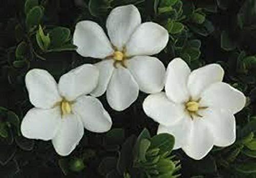 Gardenia, Kleims Hardy, Ten Pflanzen, weiß Duftstoffe -