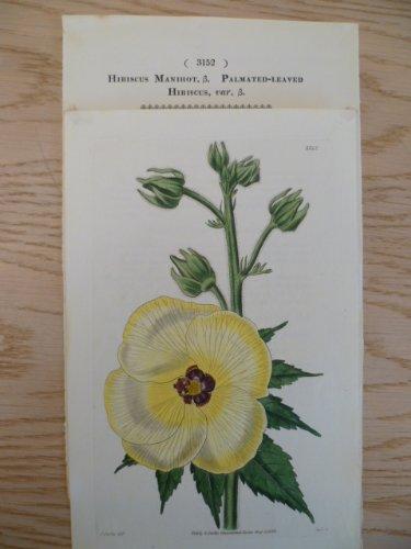 Hibiscus Manihot (Maniok-Bisameibisch). Kolor. Kupferstich von Swan bei S. Curtis. Glazenwood, 1832. Ca. 20 x 12 cm.