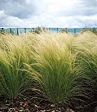 PLAT FIRM Germinazione I Semi PLATFIRM-Erba Ornamentale Seed - Stipa tenuissima Pony Tails Seeds