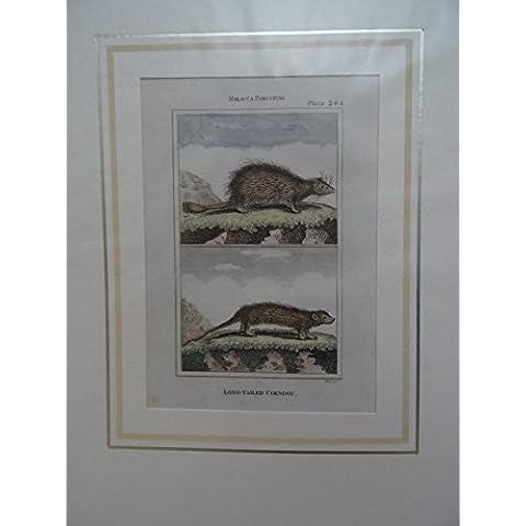 Malacca Porcupine/Long-Tailed Coendou. Kolor. Kupferstich mit 2 Abbildungen von Warner aus: Natural History. Um 1780. 12 x 7,5 cm.