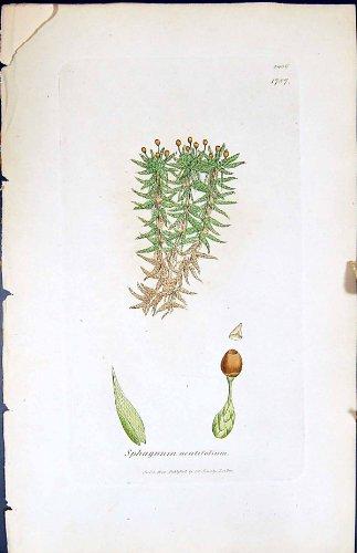 betriebsbotanik-torfmoos-acutifolium-briten-farbdruck-1847-sowerby-smith