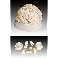 Gehirn mit Arterien - lebengroßes Anatomie Lehrmodell von MedMod
