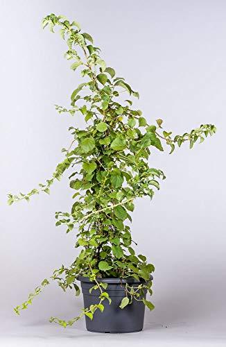Pflanzmich Petiolaris Kletterhortensie (weiß) 60 - 80cm im 5 Liter Container, Laubfarbe: dunkelgrün, Blütenfarbe