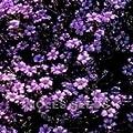 Just Seed Rot-Seifenkraut, Saponaria Ocymides, mehrjährige Steingartenpflanze, Blumen, 200 Samen von Just Seed auf Du und dein Garten