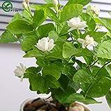Jasmin Samen Bonsai Blumensamen Gartenbonsai Blumensamen Pflanzen Topfblumen 30 Partikel / Beutel T018
