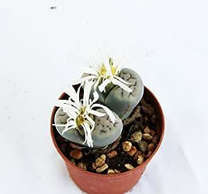 PIANTE GRASSE VERE RARE N.1 Lithops Sassi Viventi vaso 6,5 coltivazione Produzione Viggiano Cactus Pianta roccia
