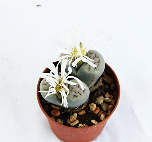 Galleria fotografica PIANTE GRASSE VERE RARE N.1 Lithops Sassi Viventi vaso 6,5 coltivazione Produzione Viggiano Cactus Pianta roccia