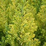 Shop Meeko gardenexpert Chamaecyparis lawsoniana 17 centimetri Pot Size 'di Ellwood' Cypress