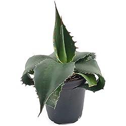 Agave montana - winterharte Bergagave aus Mexiko - pflegeleichte Sukkulente für das sonnige Fensterbrett - außergewöhnliche Zimmerpflanze