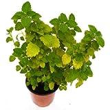 Incienso Planta Natural en Maceta Pequeña 10cm Planta Aromática
