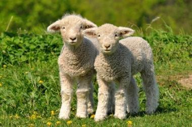 ARNDT Lämmer START & AUFZUCHT für Schaf- Ziegenlämmer Lämmermilch 10 kg & Probicol L 6er Pack