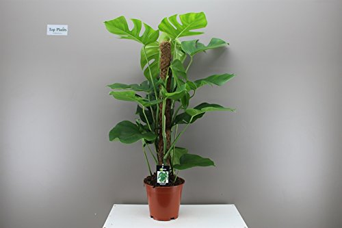 swiss-cheese-plant-provided-with-moss-stick-support-large-indoor-feature-plant-ideal-for-offices-hot