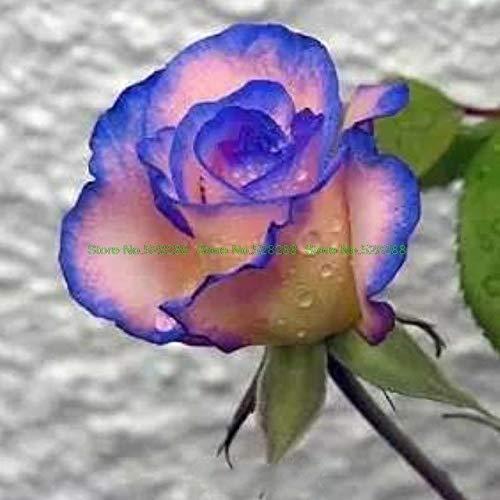 Bloom Green Co. bonsaïs 150 pcs/paquet Rainbow Rose Holland Flower amant cadeau RARE 25 exotiques couleurs au choix jardin d'accueil: 20