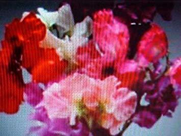 PlenTree 1 / 8o Pfund granel Geruchshandschuh Royalmleche Farben Samen