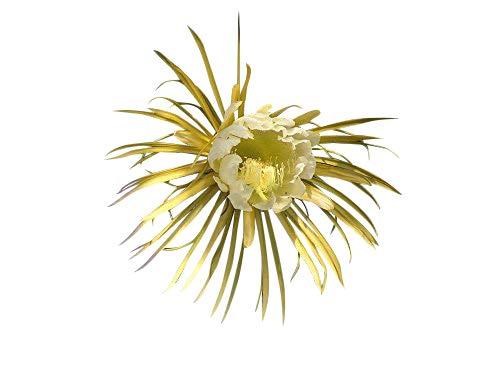 Königin der Nacht 15 Samen -Selenicereus grandiflorus- ***Bis zu 30 cm lange und breite Blüten***