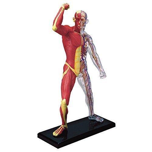 dentallabore famemaster 4d-vision Menschliche Muskulatur und Skelett Anatomie Modell