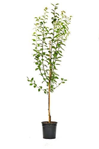 Pflaumenbaum Hanita LH 120 - 150 cm, Pflaumen blau, Busch, mittelstark wachsend, im Topf, Obstbaum winterhart, Prunus domestica