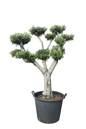 Olivenbaum - Pon Pon - 180 cm - winterhart - Formschnitt - stammumfang 40/50cm