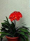 PLAT FIRM lampadine SEMI PLAT AZIENDA-Real Clivia, pianta clivia, bulbi da fiore bonsai, (non semi Clivia), fiori perenni pianta da vaso bulbosa Root - 20 pezzi 5